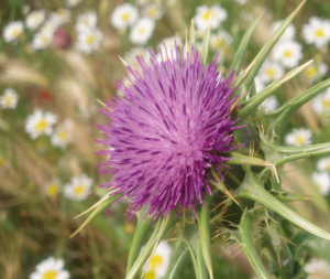 milkthistle3